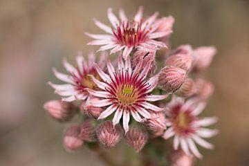 Bloem van een vetplant. van Marianne Twijnstra-Gerrits
