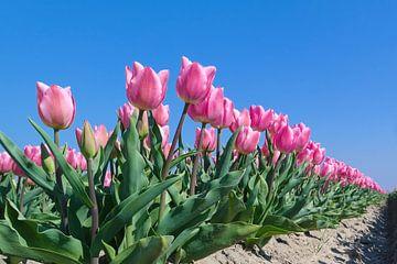 roze tulpen veld van Angelique Rademakers