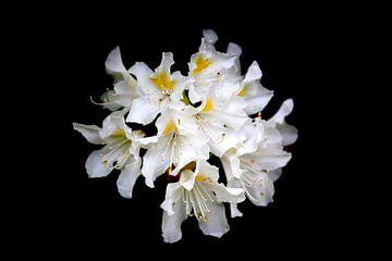 Rhododendron von Thomas Jäger