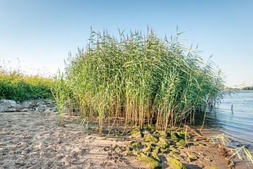 Blühende Reedanlagen auf Flussbank von Ruud Morijn