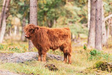 Schotse Hooglander kalf in het bos van Sjoerd van der Wal