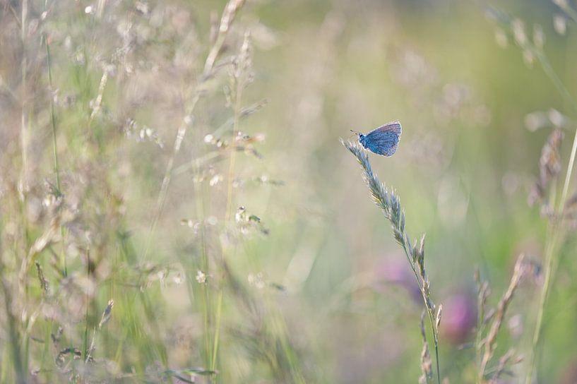 icarus blauwtje van Bart Hardorff