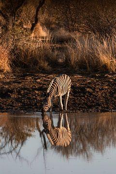 Drinkende Zebra van Jarno Dorst
