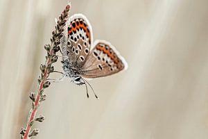 Heideblauwtje met mooie vleugels van Roosmarijn Bruijns