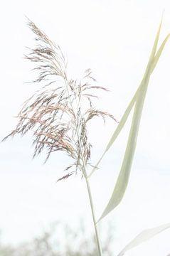 Reed sur Minie Drost