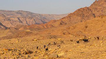Ziegen im Dana-Naturschutzgebiet in Jordanien von Jessica Lokker