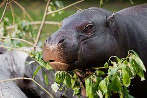 Niedliche Nilpferdmündung in Nahaufnahme, Augen auf grünem Hintergrund. Das Zwergnilpferd (Pygmäen-N