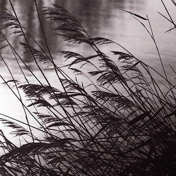 gras pluimen in tegenlicht van