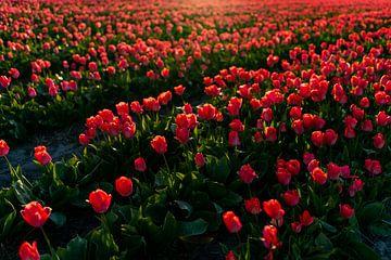 Rote Tulpen - Zwiebel Region Noordwijk von Linsey Aandewiel-Marijnen
