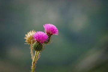 Blühende Disteln mit hellen Farben lila mit schönem Hintergrund von Erwin Floor