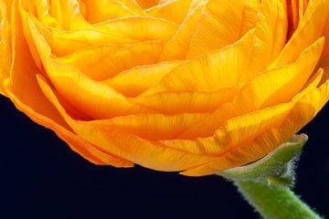 Ranunculus van Karin van Hengel