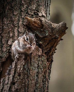 Eekhoorn verstopt zich in boom van Bas Marijnissen