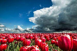 Tulpenveld net voor de regenbui