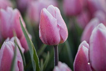 Lila Tulpen mit Tautropfen von Sander Groenendijk