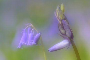 Wilde hyacint von Margaret van den Berg