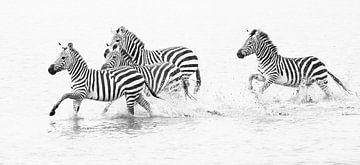Zebra's rennend door water van Anja Brouwer Fotografie