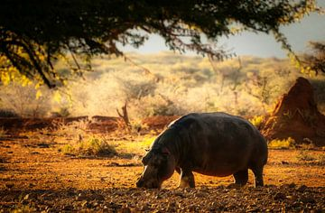 Hippopotamus van Joris Pannemans - Loris Photography
