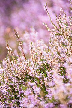 Detail van bloeiende paarse heide van Fotografiecor .nl