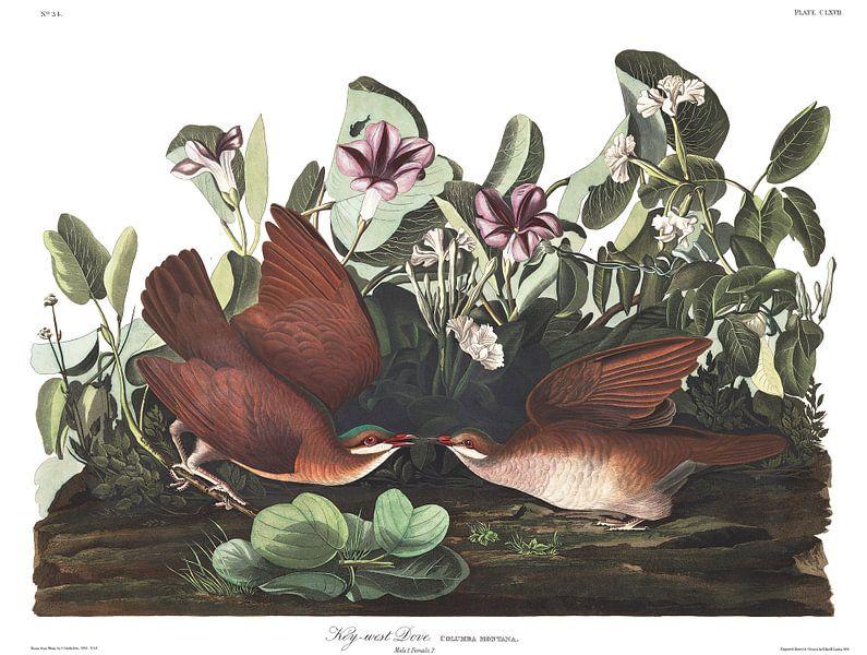 Cubaanse Kwartelduif van Birds of America