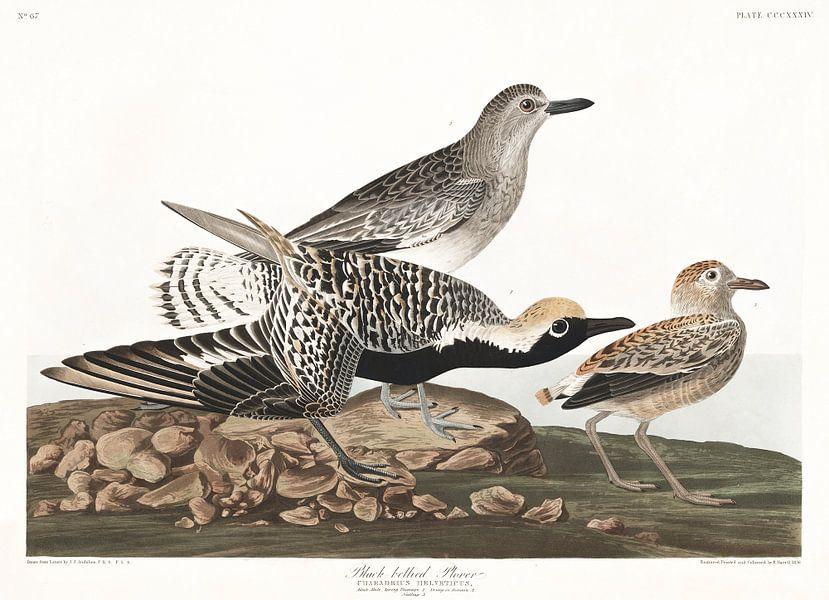 Zilverplevier van Birds of America
