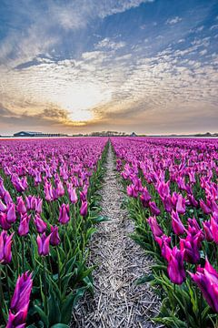 tulpen bij ondergaande zon 02 van Arjen Schippers