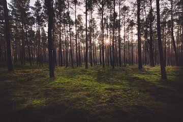 Forêt de pins sur Skyze Photography by André Stein
