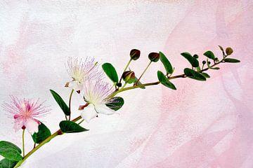 Kapernzweig mit Blüten und Kapern von Rosina Schneider