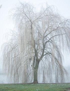 treurwilg in de mist