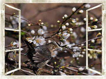 venster - wilde kersenbloesems met Blackbird van Christine Nöhmeier