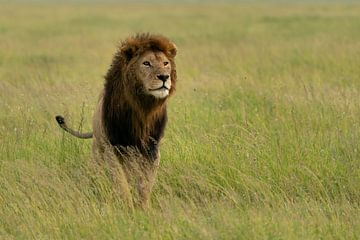 Löwe von Ingrid Sanders