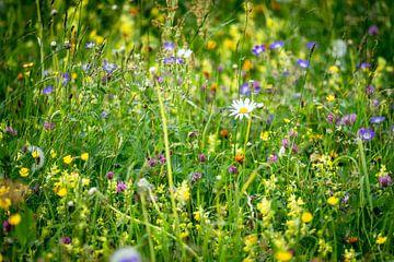 Frühlings-Blumenwiese mit Margerite von