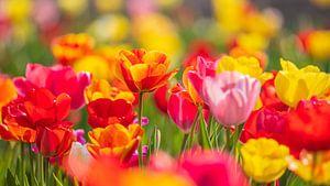 Tulpen von Friedhelm Peters