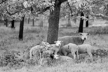 Schafsfamilie unter dem Baum von Tania Perneel