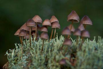Groepje bruine paddenstoelen tussen korstmos van Cor de Hamer