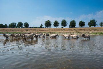 Konik Paarden in de rivier. van