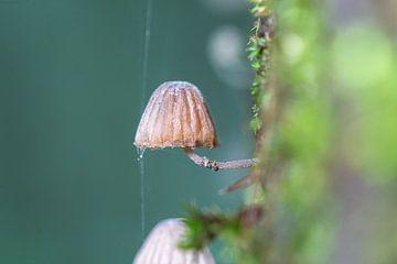 Pilz von Peter van Dongen