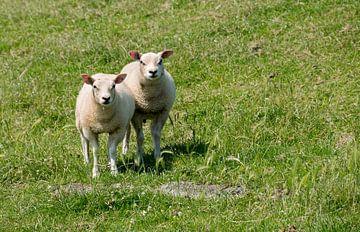 twee schapen  van Compuinfoto .