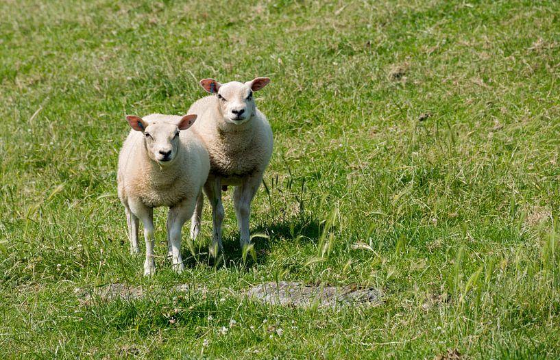 twee schapen  von Compuinfoto .