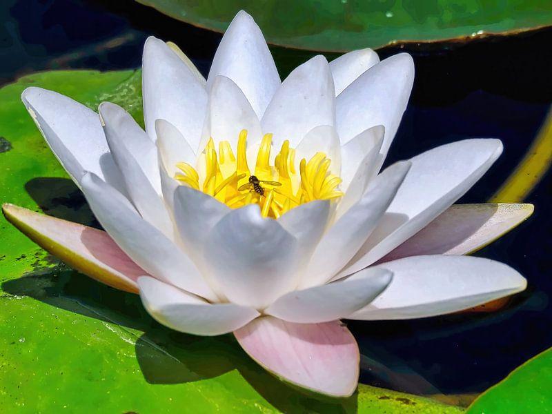Seerose/ Indischer Lotus von Eduard Lamping
