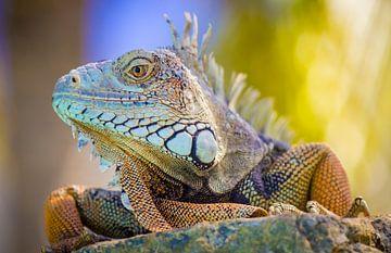 Schöner, farbenfroher karibischer Leguan auf Aruba von Laura de Kwant