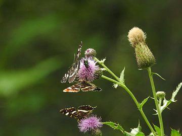 Vlinders op een distel (Friesland) landkaartje van Fotografie Sybrandy