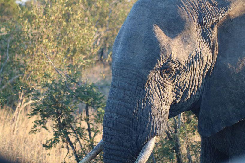 Afrikanischer Elefant von Stephanie Visser