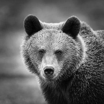 Bruine beer van Frans Lemmens