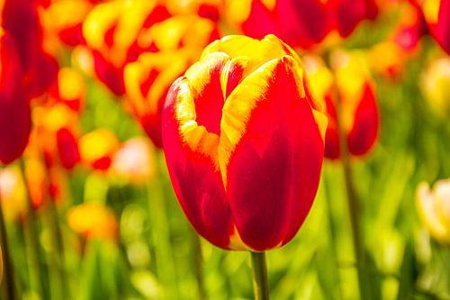 Gekleurd tulpenveld