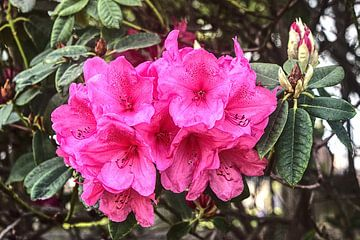 Rhododendron van BDG pics