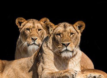 deux Lionnes sur Gert Hilbink