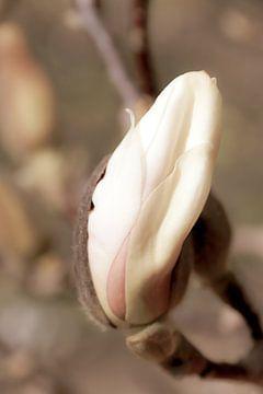 magnolia van Carmen Varo