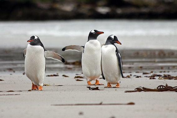 Ezelspinguïns op het strand