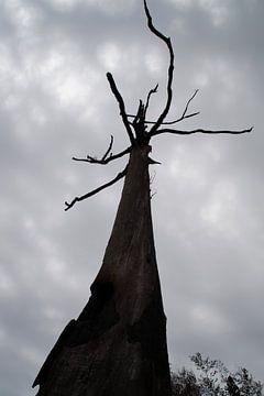 Boom / Tree, Pilgrim's Rest, Zuid-Afrika von Maurits Bredius