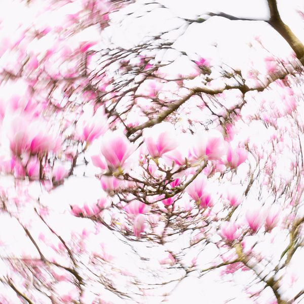Dazzling Magnolia's